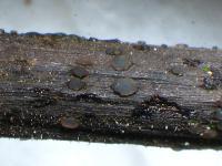 Blattstiel-Spaltbecherchen