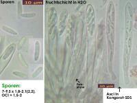 Calycina-discreta-(Haken-minus)-141120-MCol-01JJ
