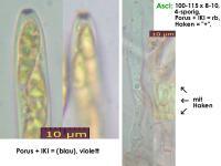 Calycina-lactea-141216-WS-MCol-05JJ