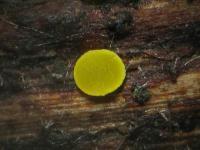 Calycina-claroflava-150101-TR-02xsJJ