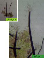 Thysanophora-Morschholz-141109-MCol-01JJ