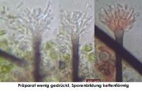 Thysanophora-Morschholz-141109-MCol-02JJ