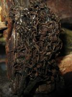 Weidenkätzchen-Krönchenbecherchen