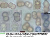 Dialonectria-cosmariospora-150331-MCol-02JJ