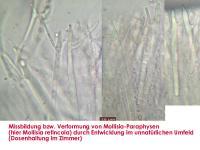 Paraphysen-Deformierung-150502-MCol-01JJ