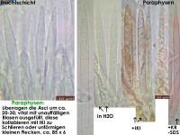 Lachnum-clavigerum-(Rubus-idaeus)-150614-MCol-03JJ