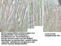 Info-Schaedigung-Paraphysen-Mollisia-150612-TR-J