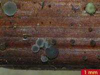 Spindelsporiges Schilf-Weichbecherchen