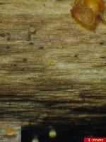 Waldreben-Knopfbecherchen