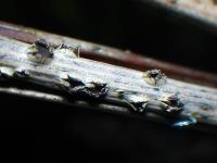 Kiefernnadel-Phacidium