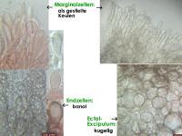 Mollisia-pseudopalustris-160102-TR-FP216-MCol-04JJ