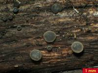 Braungraues Weichbecherchen