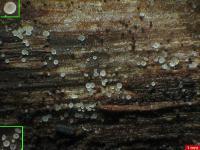 Hakenloses Eichen-Hyalinbecherchen