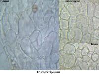Hyalorbilia-helicospora-160730-MCol-03JJ
