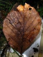 Hymenoscyphus-albopunctus-160813-01xsmColJJ