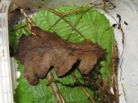 Hymenoscyphus-albopunctus-cf-(crz+)-160811-03xsJJ