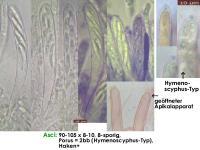 Hymenoscyphus-albopunctus-cf-(crz+)-160811-MCol-02JJ