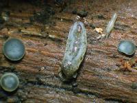 Pilzfliegenlarve-(Mycetophilidae)-160814-01xsJ