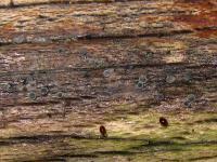Braungraues Buchen-Weichbecherchen