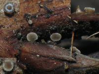 Pyrenopeziza-dilutella-150728-01xs-ColJJ
