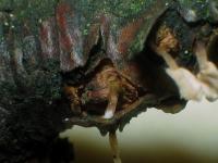Typhula-sphaeroidea-141025-EliRim-06xsJ
