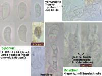Typhula-sphaeroidea-141025-EliRim-MCol-01JJ