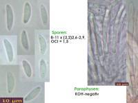Mollisia-olivaceocinerea-(nodosa)-161112-FP329-MCol-01JJ