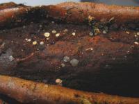 Weißgraues Weichbecherchen