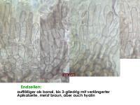 Mollisia-olivaceocinerea-(nodosa)-160813-FPr-FP311-MCol-05JJ