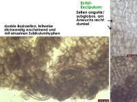 Mollisia-olivaceocinerea-(nodosa)-160813-FPr-FP311-MCol-06JJ