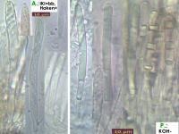 Mollisia-olivaceocinerea-160730-MCol-02JJ