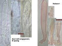 Claussenomyces-xylophilus-170205-FPr-FP341-MCol-01JJ