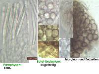 Mollisia-cinerea-170205-FPr-FP346-MCol-02JJ