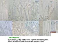 Orbilia-trapeziformis-170217-MCol-02JJ
