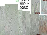Mollisia-cinerea-170318-FP362-MCol-02JJ