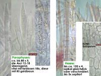 Lachnum-virgineum-(Lh)-170417-MCol-02JJ