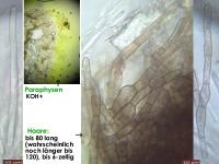 Mollisia-olivascens-170514-JAM-FP376-MCol-02JJ
