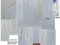 Podophacidium-spec-(IKI-)-151219-TR-MCol-01JJ
