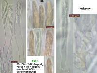 Podophacidium-spec-(IKI-)-151219-TR-MCol-02JJ