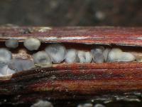 Keulensporiges Rubus-Weichbecherchen