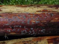 Birnensporiges Reynoutria-Weichbecherchen