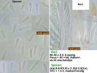 Mollisia-clavata-aff-(Reynoutria)-170813-FP431-MCol-01JJ