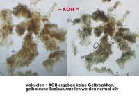 Mollisia-clavata-aff-(Reynoutria)-170813-FP431-MCol-04JJ