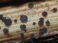 Pyrenopeziza-spec-(dark-medulla)-170720-FP415-02xsJJ