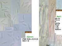 Mollisia-albogrisea-aff-(Subik+_OCI=0)-170721-FP418-MCol-01JJ