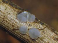 Mollisia-Poaceae-(OCI=2_KOH+)-170813-FP432-03xsJ