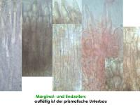 Mollisia-Poaceae-(OCI=2_KOH+)-170813-FP432-MCol-03J