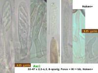 Pirottaea-imbricata-180124-KMueller-MCol-02JJ