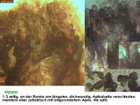 Pirottaea-imbricata-180124-KMueller-MCol-04JJ