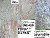 Hyaolopeziza-(Olla-like-Rubus)-170421-ThoRoed-MCol-03JJ